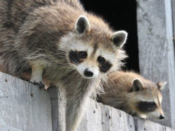 Two raccoons.
