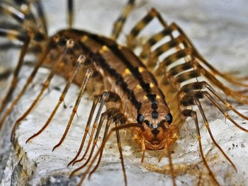 Brown centipede.