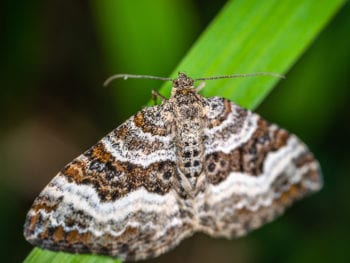 Brown and white moth on a leaf.