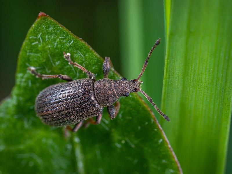 Brown beetle.