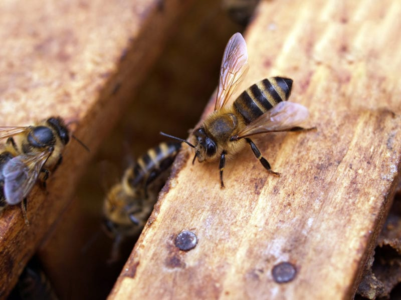 Bees crawling into wood.