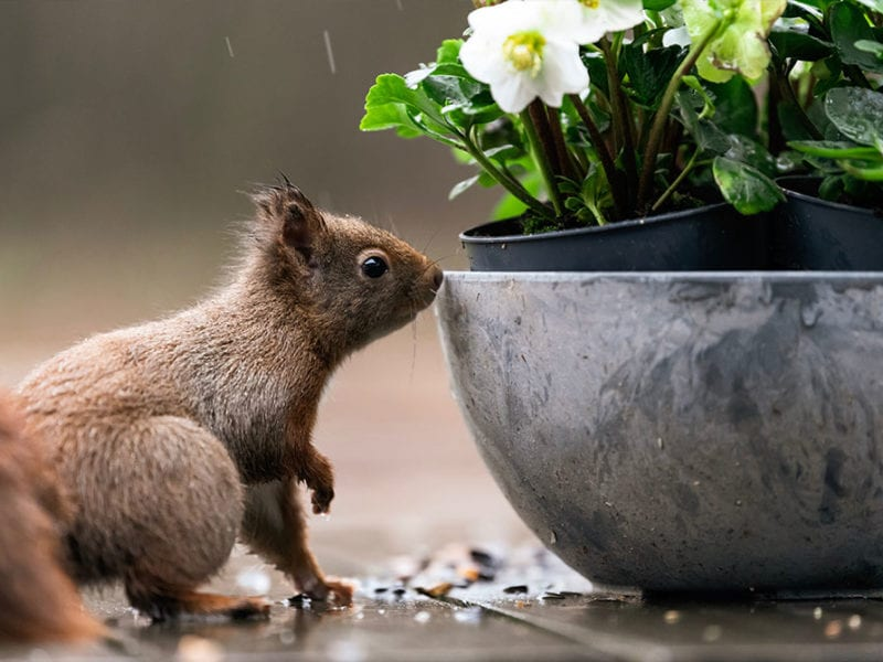 Squirrel sniffing potted plants