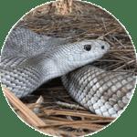 White snake.
