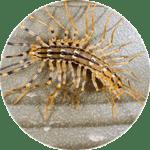 Yellow centipede
