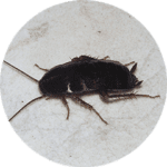 Black cockroach