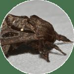 Dark brown moth.