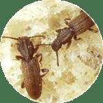 Red beetles on bread.