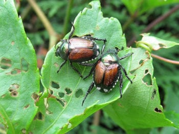 Two brown and green beetles on a leaf