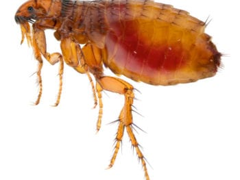 Close up image of a flea.
