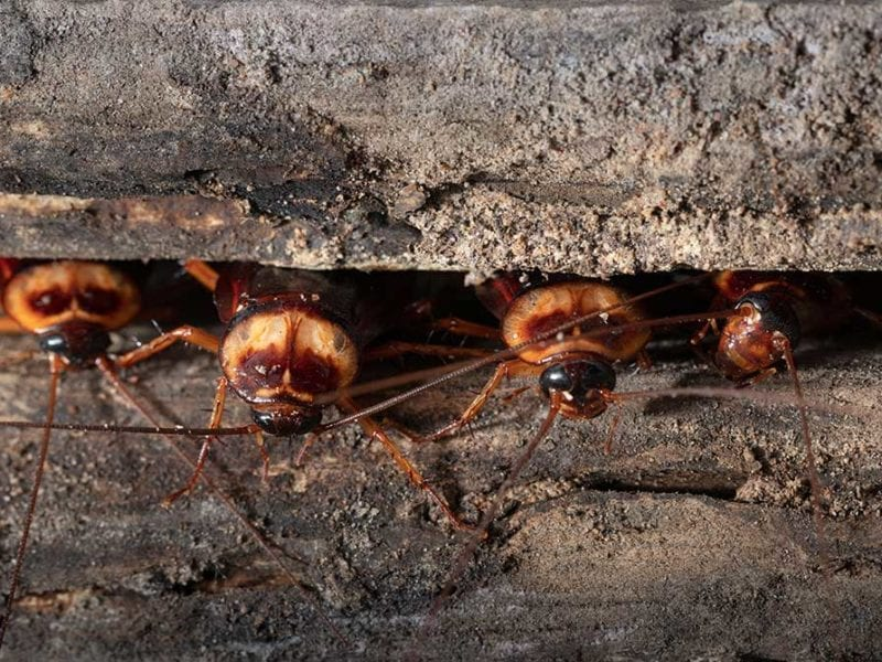 Cockroaches crawling out of a crevice.