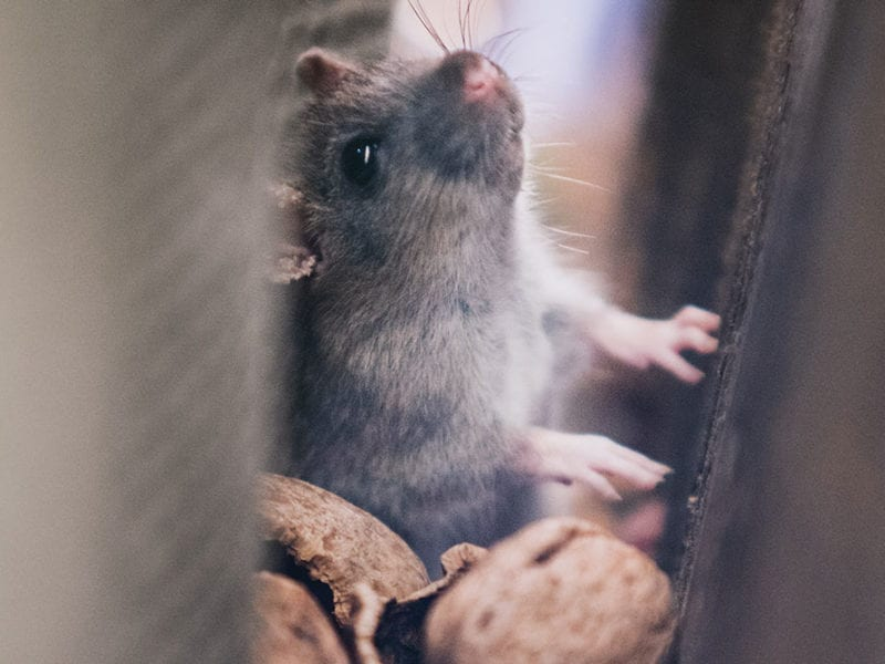 Rodent trapped in narrow opening with nut shells