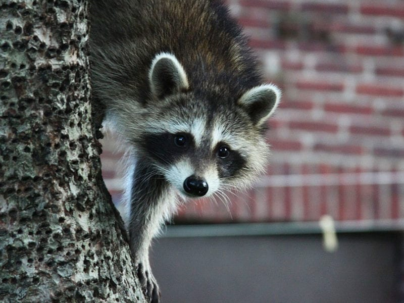 Raccoon climbing in tree outside buidling